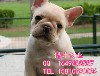 北京法國斗牛犬價格純種法國斗牛犬直銷高品質法牛幼犬