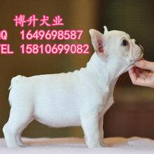 北京哪里卖纯种法国斗牛犬奶白色法国斗牛犬保健康三个月