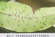 生物農藥靚果安治療芒果細菌性角斑病