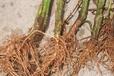云南三七種植區根腐病用有機農藥青枯立克生態防治