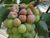 新疆葡萄種植區夏季管理很重要