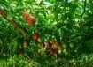 百香果茎基腐病高发期生态防治很重要