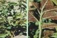 寧夏甘草種植區銹病高發用生物制劑青枯立克