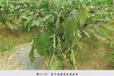 河北茄子種植集中青枯病防治生物農藥青枯立克