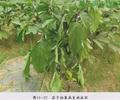 茄子枯萎病病害分析及生态防治措施