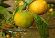 四川果樹種植區青苔多發要注意生態防治