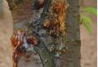櫻桃流膠樹的病害分析及生態防治方案