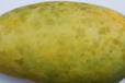 四川芒果種植區病害高發期要注意生態防治