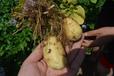 河北馬鈴薯種植集中要注意防治黑脛病
