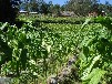 有機農藥青枯立克專治黃煙根腐病