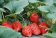 草莓叶片干枯是根腐病吗