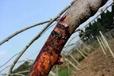 奉节猕猴桃溃疡病防治技术