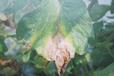 番茄灰霉病霜霉病防治要點分析