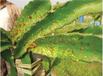 火龍果潰瘍病防治用藥小檗堿潰腐靈刷干