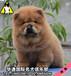 广州什么地方有卖肉嘴松狮犬广州哪有信誉好点的狗场