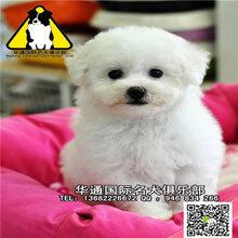 长期繁殖博美比熊泰迪犬各类纯种名犬包养活签协议.