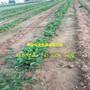 2018最新资讯大白草莓苗全国保湿邮寄图片