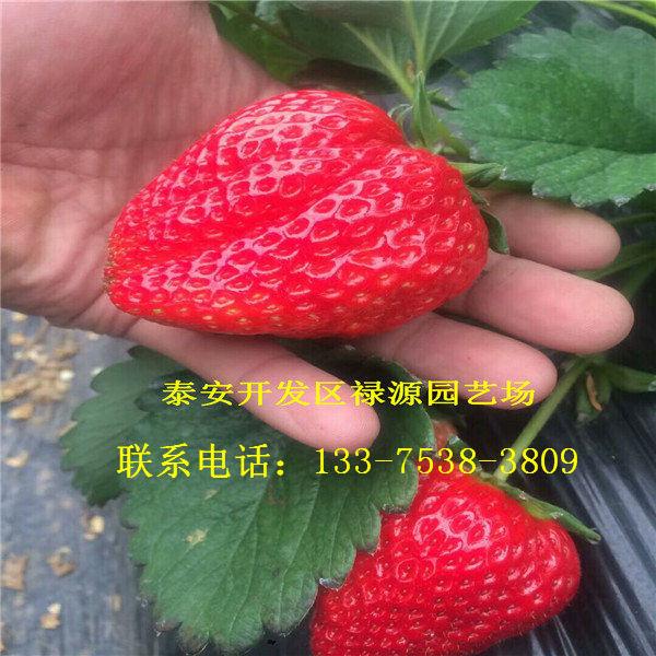 女峰草莓苗女峰草莓苗基地女峰草莓苗一棵多少錢