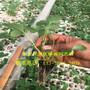 2018年京藏香草莓苗全国保湿邮寄图片