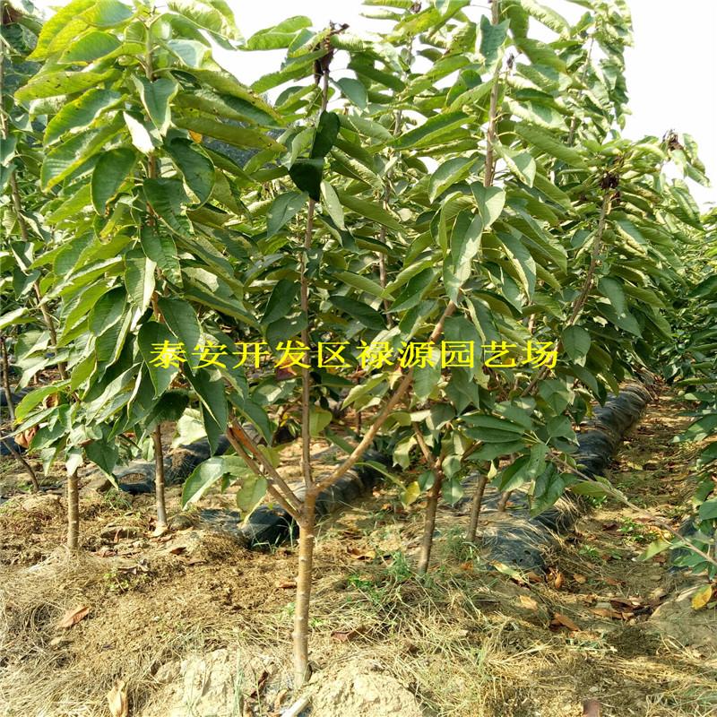 吉塞拉12号樱桃苗成苗价格多少,新品种吉塞拉12号樱桃苗嫁接图解