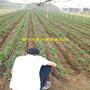 2018年土特拉草莓苗一亩地投资多少钱图片