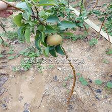 哪里有賣1公分梨樹苗幾年苗好圖片