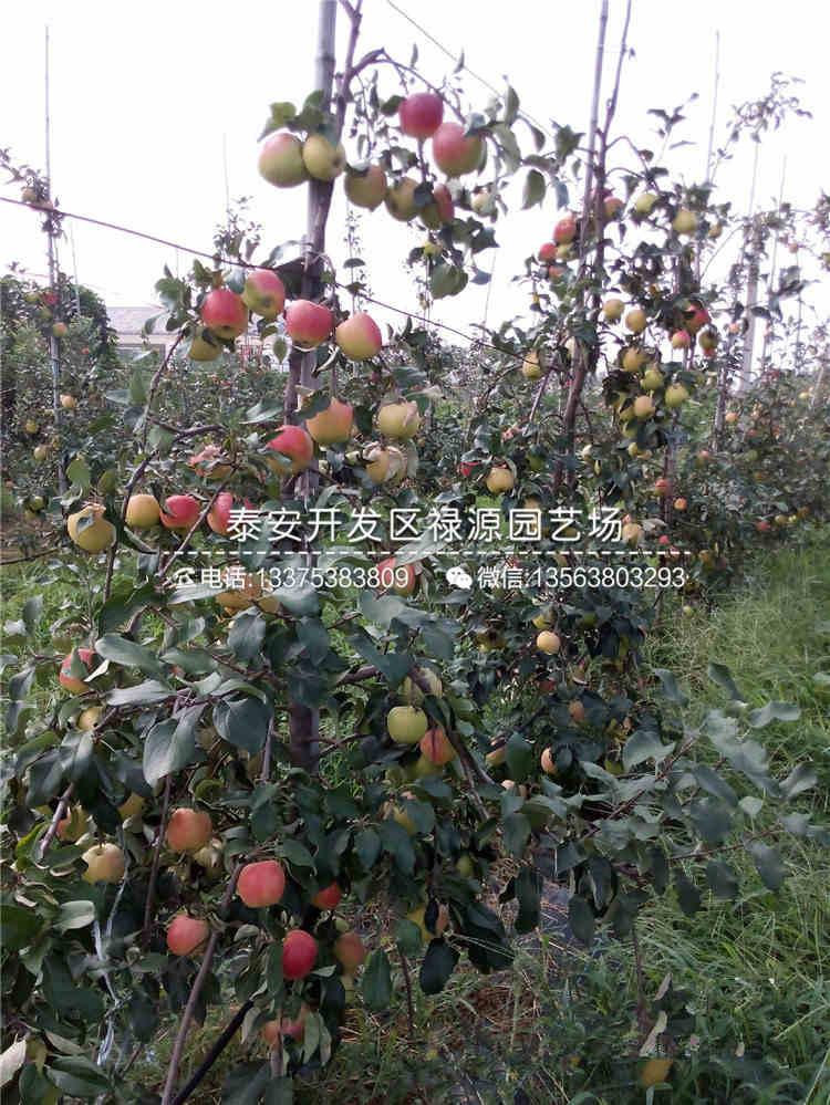 咨询4公分苹果苗、嫁接4公分苹果苗批发价格