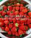 批发隋珠草莓苗、隋珠草莓苗价钱