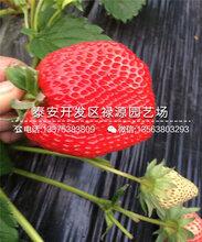 2019年新明星草莓苗、新明星草莓苗需要授粉吗?图片
