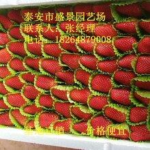 郑州市大赛草莓苗批发图片