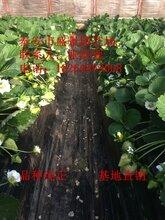 咸宁市美十三草莓苗多少钱一棵图片
