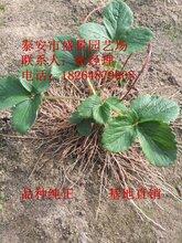 临汾市大赛草莓苗品种图片