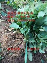 凉山甜宝草莓苗批发价格图片