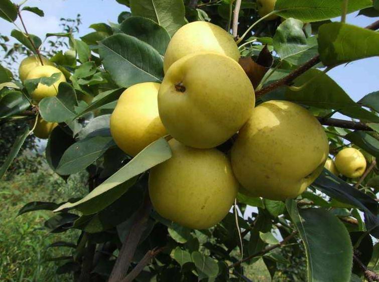 吉安圆黄梨品种树苗ab6-m图片