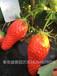 大慶全明星草莓苗價格