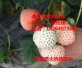 石家庄爱莎草莓草莓苗园艺场