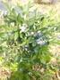 2年蓝莓苗批发2年蓝莓苗繁育基地图片