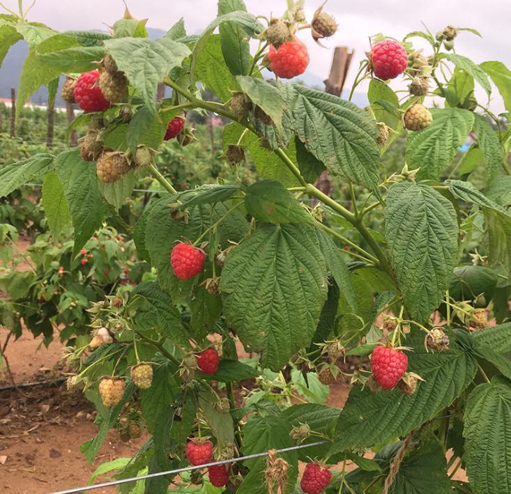雙季紅樹莓苗價格表雙季紅樹莓苗繁育基地