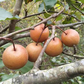广东野生棠梨子小糖梨子潮汕腌制鸟梨野果子野梨订购成熟时间几月份价格多少钱河源特产