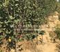 1cm苹果苗种植技术、巴南新2001苹果苗