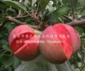 苹果树价格报价、安阳萌苹果苗