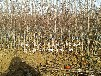 華玉蘋果樹一畝栽多少棵、閘北脫毒蘋果樹
