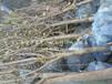 黑钻苹果树领先的育苗技术、荣昌信浓红苹果树