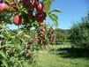 紅將軍蘋果樹、紅將軍蘋果樹批發