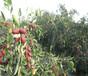 寧夏脆冬棗價格品種