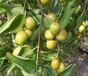 北京大紅棗樹苗成長特性