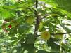 波姬紅無花果樹苗一畝栽多少棵、泉州早黃無花果樹苗培育基地