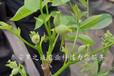 齊齊哈爾清香核桃樹苗價格表2018最新報價