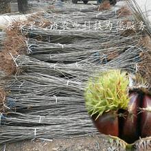 阿拉善盟红光栗板栗苗\红光栗板栗苗主产区欢迎您图片