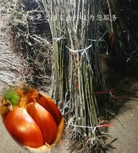 兰州泰山薄壳板栗树苗\泰山薄壳板栗树苗批发商图片